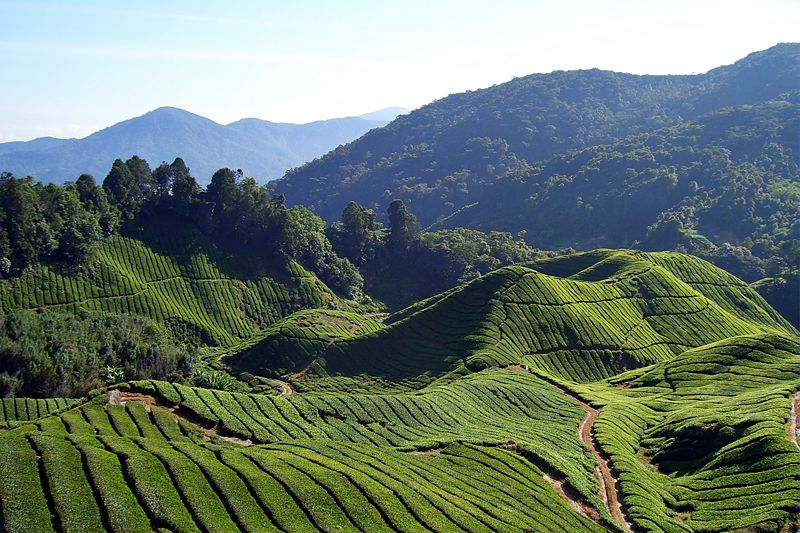 File:Tea fields (Will Ellis)-2008-07-062.jpg